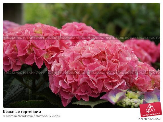 Купить «Красные гортензии», эксклюзивное фото № 326052, снято 14 июня 2008 г. (c) Natalia Nemtseva / Фотобанк Лори