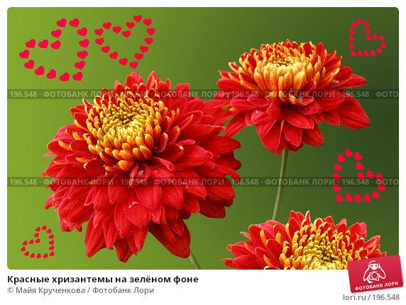 Красные хризантемы на зелёном фоне, фото № 196548, снято 9 сентября 2006 г. (c) Майя Крученкова / Фотобанк Лори