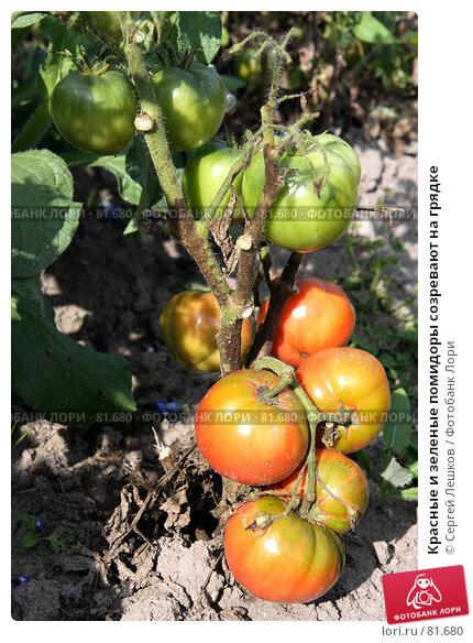 Красные и зеленые помидоры созревают на грядке, фото № 81680, снято 15 декабря 2007 г. (c) Сергей Лешков / Фотобанк Лори