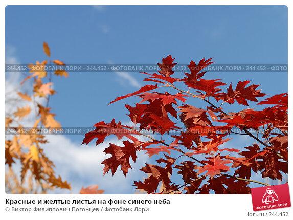 Красные и желтые листья на фоне синего неба, фото № 244452, снято 13 ноября 2007 г. (c) Виктор Филиппович Погонцев / Фотобанк Лори