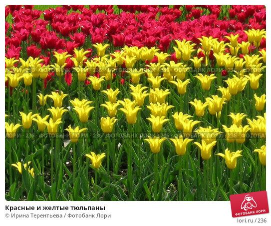 Купить «Красные и желтые тюльпаны», фото № 236, снято 10 мая 2004 г. (c) Ирина Терентьева / Фотобанк Лори