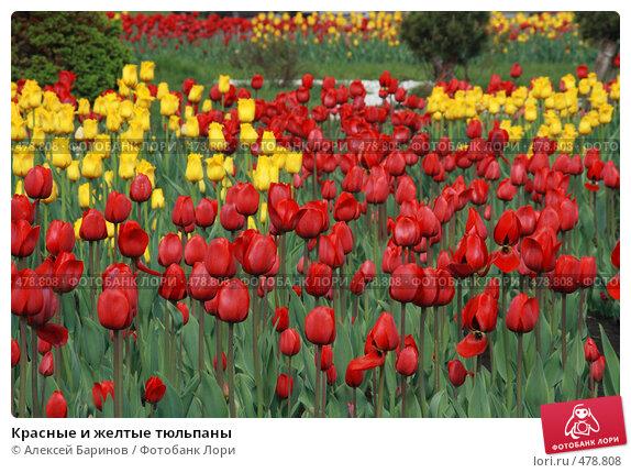 Купить «Красные и желтые тюльпаны», фото № 478808, снято 16 мая 2008 г. (c) Алексей Баринов / Фотобанк Лори