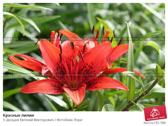 Красные лилии, фото № 61104, снято 10 июля 2007 г. (c) Донцов Евгений Викторович / Фотобанк Лори