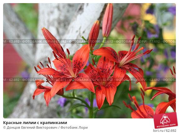 Красные лилии с крапинками, фото № 62692, снято 10 июля 2007 г. (c) Донцов Евгений Викторович / Фотобанк Лори