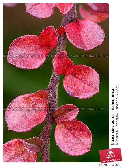 Красные листья кизильника, фото № 137320, снято 28 ноября 2006 г. (c) Максим Горпенюк / Фотобанк Лори