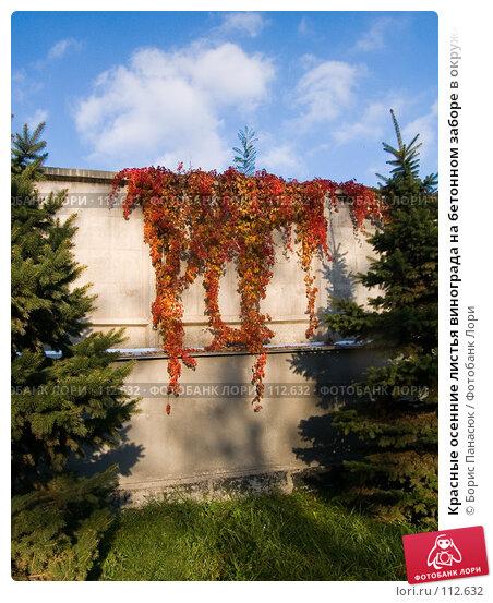 Красные осенние листья винограда на бетонном заборе в окружении елей, фото № 112632, снято 29 сентября 2006 г. (c) Борис Панасюк / Фотобанк Лори