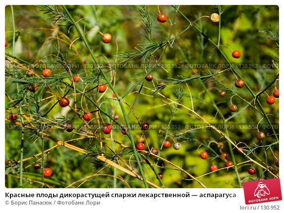 Красные плоды дикорастущей спаржи лекарственной — аспарагуса, фото № 130952, снято 17 августа 2007 г. (c) Борис Панасюк / Фотобанк Лори