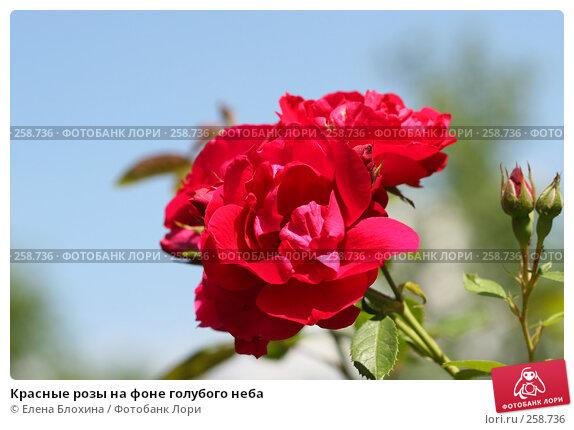 Красные розы на фоне голубого неба, фото № 258736, снято 2 июля 2007 г. (c) Елена Блохина / Фотобанк Лори