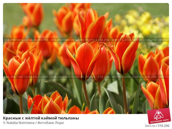 Красные с жёлтой каймой тюльпаны, эксклюзивное фото № 318296, снято 8 апреля 2008 г. (c) Natalia Nemtseva / Фотобанк Лори