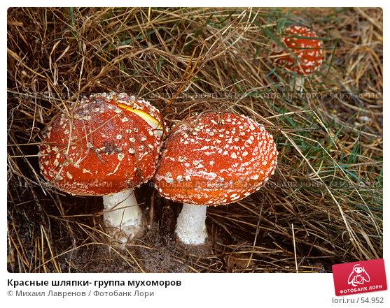 Красные шляпки- группа мухоморов, фото № 54952, снято 22 августа 2017 г. (c) Михаил Лавренов / Фотобанк Лори
