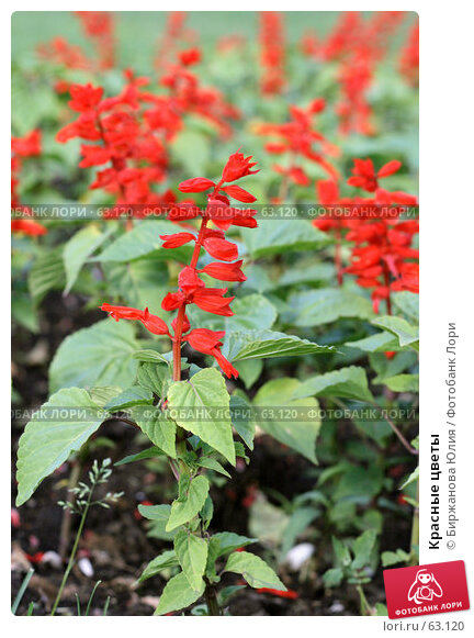 Купить «Красные цветы», фото № 63120, снято 21 июня 2007 г. (c) Биржанова Юлия / Фотобанк Лори
