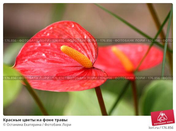 Красные цветы на фоне травы, фото № 176856, снято 24 июля 2007 г. (c) Останина Екатерина / Фотобанк Лори