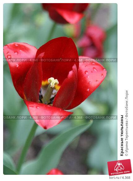 Красные тюльпаны , эксклюзивное фото № 4368, снято 29 мая 2006 г. (c) Ирина Терентьева / Фотобанк Лори