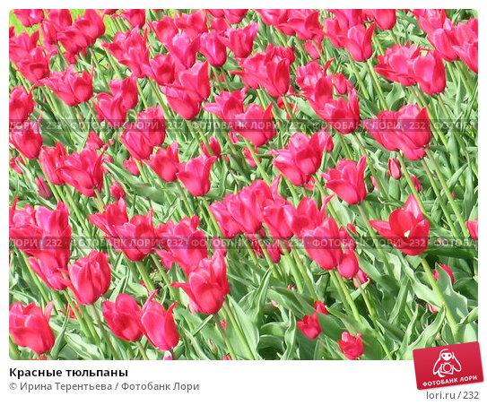 Красные тюльпаны, эксклюзивное фото № 232, снято 10 мая 2004 г. (c) Ирина Терентьева / Фотобанк Лори