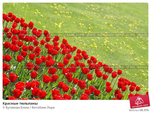 Красные тюльпаны, фото № 45976, снято 21 мая 2007 г. (c) Бутинова Елена / Фотобанк Лори