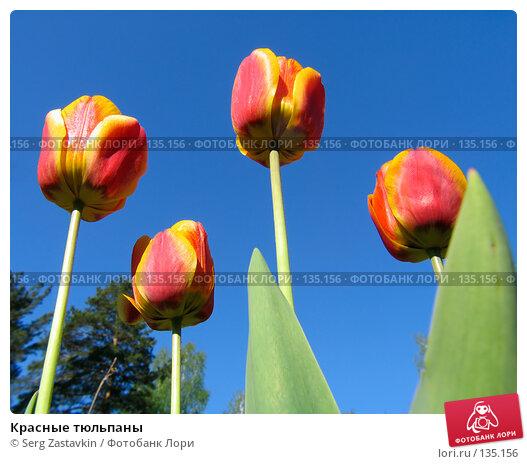 Купить «Красные тюльпаны», фото № 135156, снято 20 мая 2005 г. (c) Serg Zastavkin / Фотобанк Лори