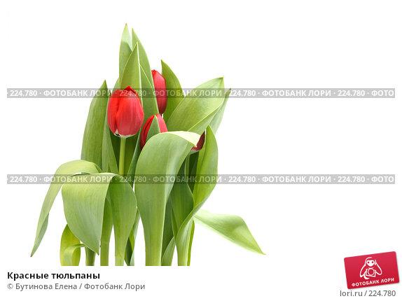 Красные тюльпаны, фото № 224780, снято 17 марта 2008 г. (c) Бутинова Елена / Фотобанк Лори