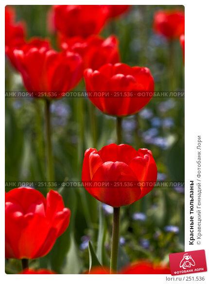 Красные тюльпаны, фото № 251536, снято 29 апреля 2005 г. (c) Кравецкий Геннадий / Фотобанк Лори