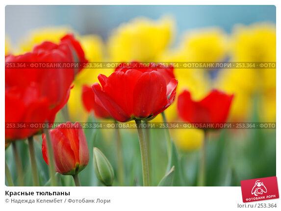Красные тюльпаны, фото № 253364, снято 11 мая 2007 г. (c) Надежда Келембет / Фотобанк Лори