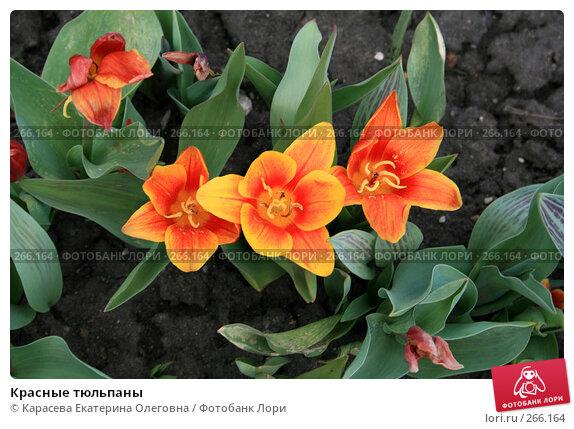Красные тюльпаны, фото № 266164, снято 27 апреля 2008 г. (c) Карасева Екатерина Олеговна / Фотобанк Лори