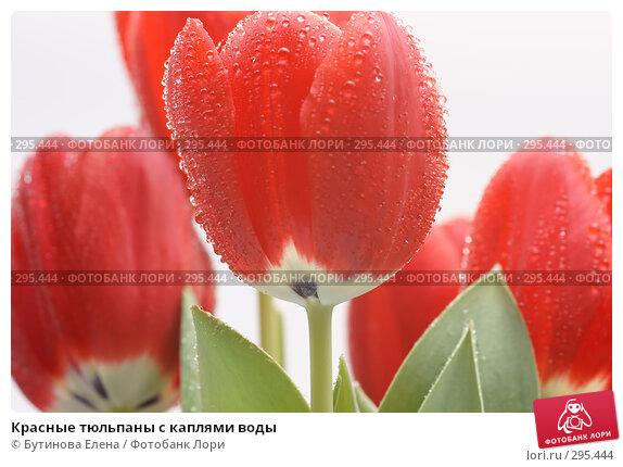 Красные тюльпаны с каплями воды, фото № 295444, снято 21 марта 2008 г. (c) Бутинова Елена / Фотобанк Лори
