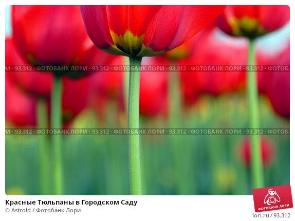 Красные Тюльпаны в Городском Саду, фото № 93312, снято 15 мая 2005 г. (c) Astroid / Фотобанк Лори