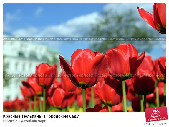 Красные Тюльпаны в Городском Саду, фото № 114396, снято 15 мая 2005 г. (c) Astroid / Фотобанк Лори