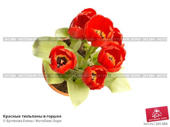 Красные тюльпаны в горшке, фото № 241684, снято 30 марта 2017 г. (c) Бутинова Елена / Фотобанк Лори