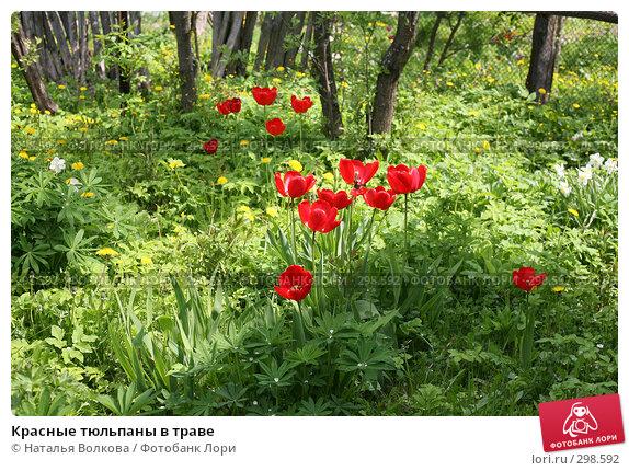 Красные тюльпаны в траве, фото № 298592, снято 18 мая 2008 г. (c) Наталья Волкова / Фотобанк Лори