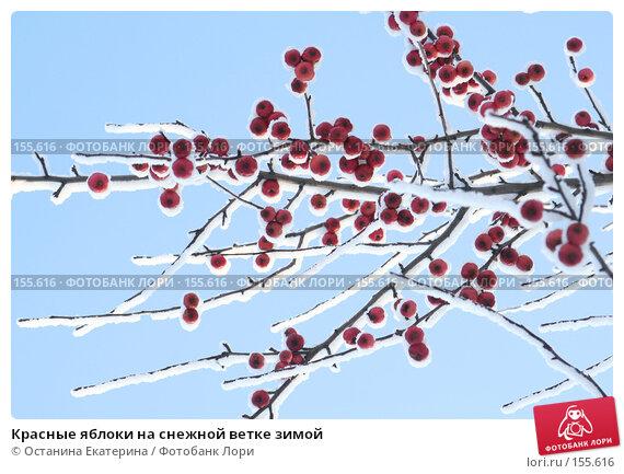 Купить «Красные яблоки на снежной ветке зимой», фото № 155616, снято 10 декабря 2007 г. (c) Останина Екатерина / Фотобанк Лори