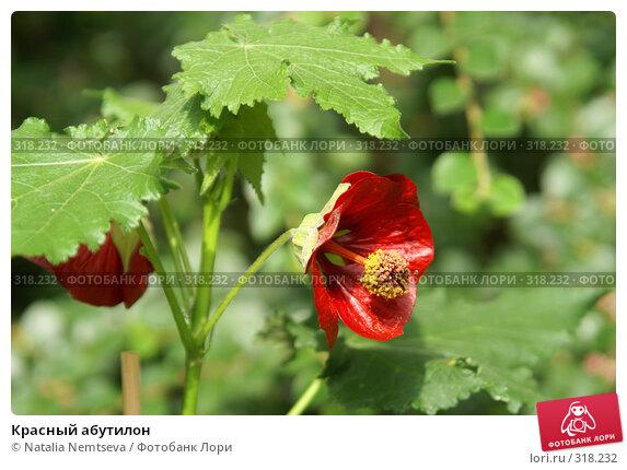 Красный абутилон, эксклюзивное фото № 318232, снято 2 июня 2008 г. (c) Natalia Nemtseva / Фотобанк Лори