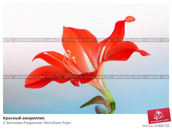 Купить «Красный амариллис», фото № 4404732, снято 29 января 2012 г. (c) Антонина Ращинская / Фотобанк Лори