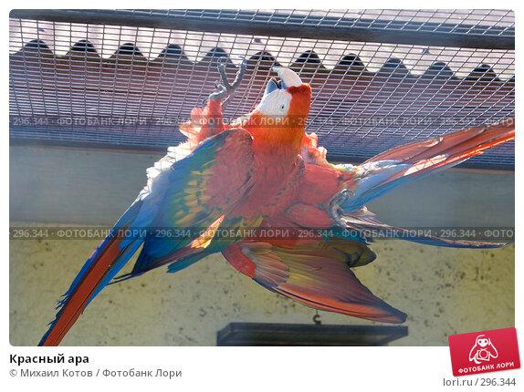 Красный ара, фото № 296344, снято 13 мая 2008 г. (c) Михаил Котов / Фотобанк Лори