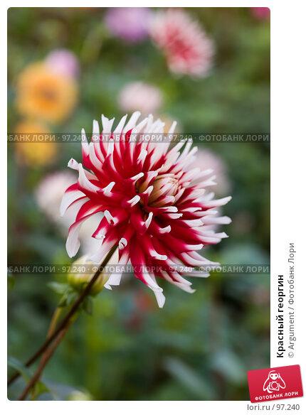 Красный георгин, фото № 97240, снято 30 сентября 2007 г. (c) Argument / Фотобанк Лори