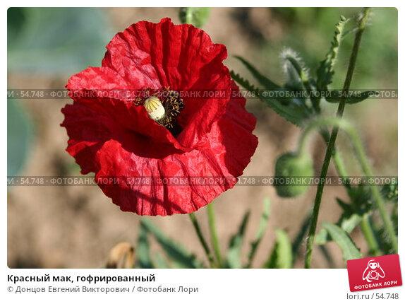 Красный мак, гофрированный, фото № 54748, снято 14 июня 2007 г. (c) Донцов Евгений Викторович / Фотобанк Лори
