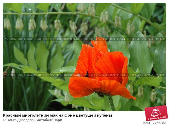 Красный многолетний мак на фоне цветущей купены, фото № 256384, снято 11 июня 2006 г. (c) Ольга Дроздова / Фотобанк Лори