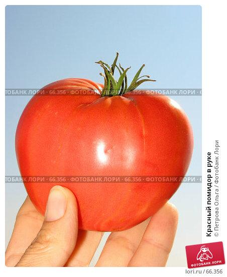 Красный помидор в руке, фото № 66356, снято 30 июля 2007 г. (c) Петрова Ольга / Фотобанк Лори