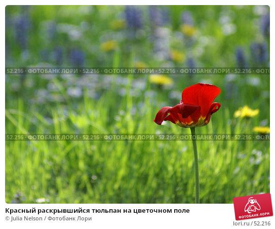 Красный раскрывшийся тюльпан на цветочном поле, фото № 52216, снято 19 мая 2007 г. (c) Julia Nelson / Фотобанк Лори