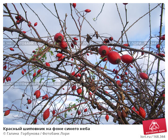 Красный шиповник на фоне синего неба, фото № 168344, снято 1 ноября 2006 г. (c) Галина  Горбунова / Фотобанк Лори