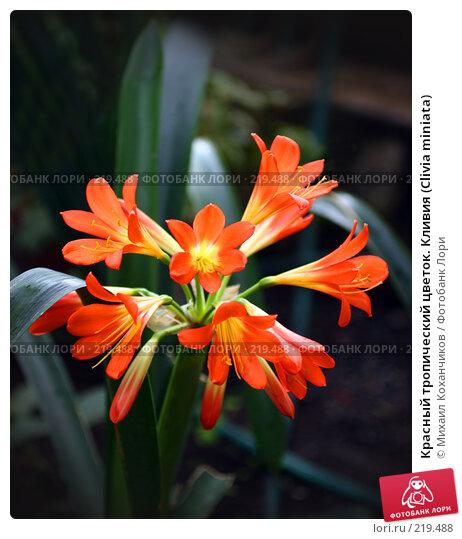 Красный тропический цветок. Кливия (Clivia miniata), фото № 219488, снято 1 марта 2008 г. (c) Михаил Коханчиков / Фотобанк Лори