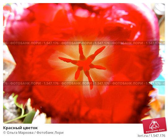 Красный цветок. Стоковое фото, фотограф Ольга Маркова / Фотобанк Лори