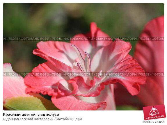 Красный цветок гладиолуса, фото № 75048, снято 3 августа 2007 г. (c) Донцов Евгений Викторович / Фотобанк Лори