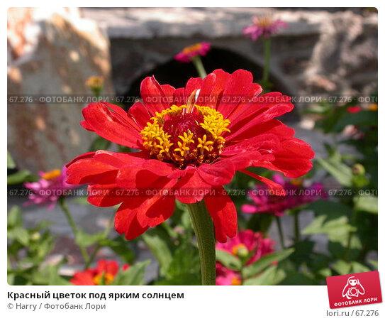 Красный цветок под ярким солнцем, фото № 67276, снято 23 июля 2005 г. (c) Harry / Фотобанк Лори