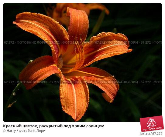 Красный цветок, раскрытый под ярким солнцем, фото № 67272, снято 1 июля 2005 г. (c) Harry / Фотобанк Лори