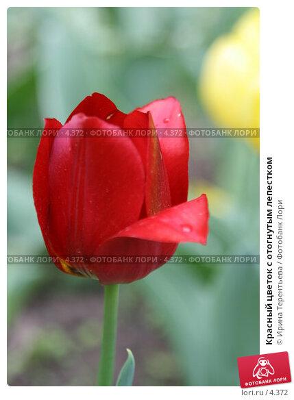 Красный цветок с отогнутым лепестком, эксклюзивное фото № 4372, снято 29 мая 2006 г. (c) Ирина Терентьева / Фотобанк Лори
