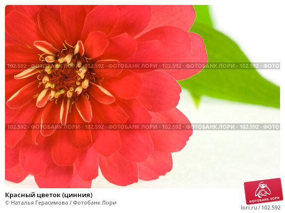 Красный цветок (цинния), фото № 102592, снято 24 июня 2017 г. (c) Наталья Герасимова / Фотобанк Лори