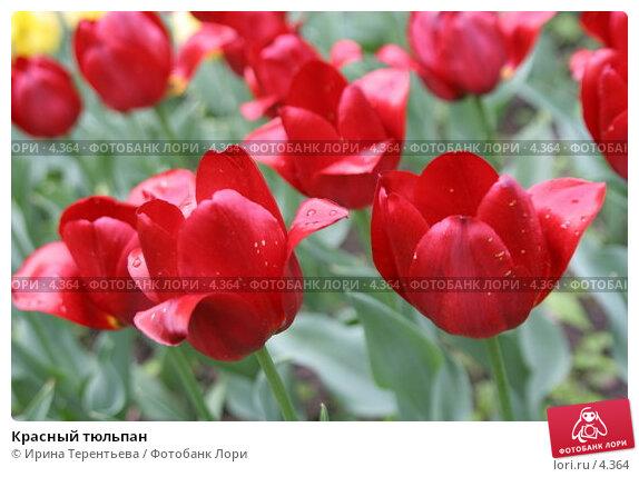 Красный тюльпан, эксклюзивное фото № 4364, снято 29 мая 2006 г. (c) Ирина Терентьева / Фотобанк Лори