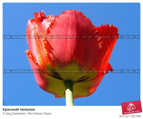 Купить «Красный тюльпан», фото № 135160, снято 20 мая 2005 г. (c) Serg Zastavkin / Фотобанк Лори