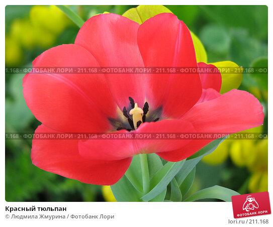 Красный тюльпан, фото № 211168, снято 26 февраля 2008 г. (c) Людмила Жмурина / Фотобанк Лори