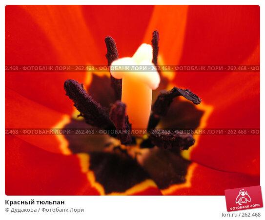 Красный тюльпан, фото № 262468, снято 9 апреля 2006 г. (c) Дудакова / Фотобанк Лори